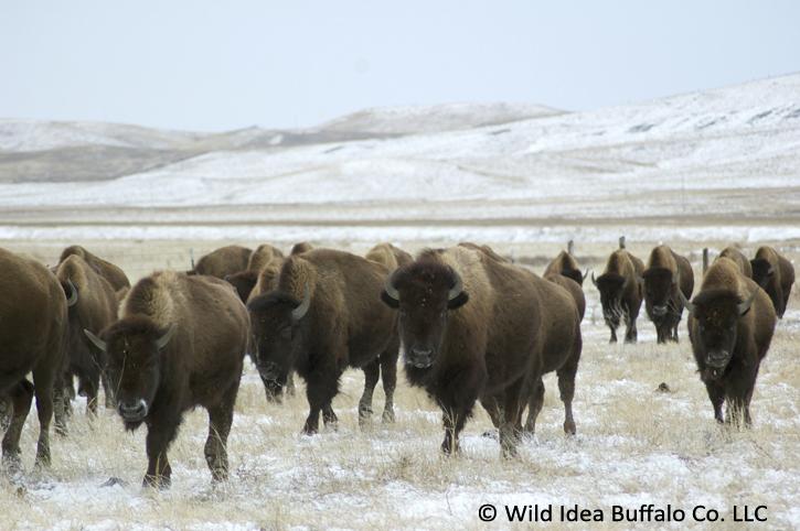 Moving-Buffalo